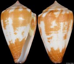 Conus wandae (Cape Verde, 29,3mm)