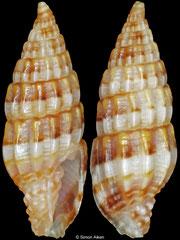Vexillum hilare (Philippines, 8,2mm)