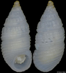 Discrevinia balba (Philippines, 1,8mm) F+++ €25.00 (specimens for sale are 1.8-2.0mm and are of the same quality as the specimen illustrated)