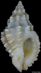 Pascula philpoppei (Philippines, 13,6mm)