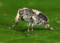 Weevil (Curculionoidea sp.), Lakxao, Bolikhamsai Province, Laos