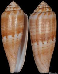 Conus austroviola (Northern Territory, Australia, 52,1mm)