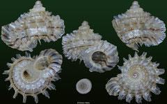 Meganipha rhecta (Dominican Republic, 9,0mm)