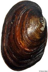 Diplodon wymanii (Argentina, 79mm)