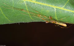 Long-jawed orb-weaver (Tetragnatha sp.), Kampot, Cambodia