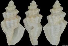 Heterocithara himerta (Philippines, 4,1mm) F++ €14.00