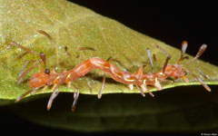 Erebid moth (Homodes bracteigutta) larva, Kampong Trach, Cambodia