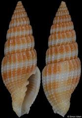 Vexillum caelatum (Vietnam, 23,4mm) F++ €21.00