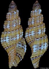 Kuroshiodaphne sp. (Philippines, 3,8mm)