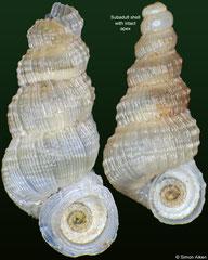 Ramsdenia nobilitata (Cuba, 8,2mm, 6,9mm)