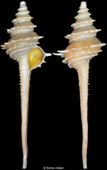 Fulgurofusus nanshaensis (Spratly Islands, 82,2mm)
