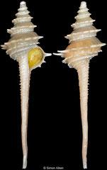 Fulgurofusus nanshaensis (Spratly Islands, 82,2mm)