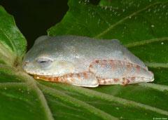 Madagascar reed frog (Heterixalus betsileo), Mantadia, Madagascar