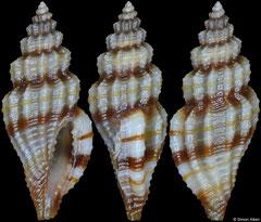 Eucithara vittata (Philippines, 7,9mm)