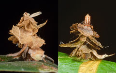 Witch's hat bagworm moths (Pagodiella sp.) larvae, Hà Tiên, Vietnam
