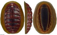 Tonicella insignis (Washington, USA, 44,7mm)