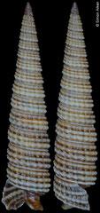 Aclophora sp. nov. (Philippines, 10,6mm)