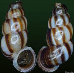 Chondropoma cf. morsecodex (Dominican Republic, 11,6mm)