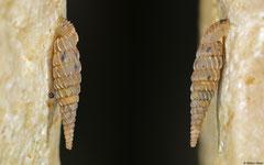 Brachypodella dominicensis (N of Polo, Dominican Republic)