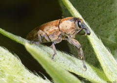 Weevil (Orthorhinus sp.), Broome, Western Australia