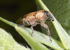 Weevil (Orthorhinus sp.), Broome, Western Australia