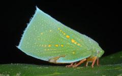 Planthopper (Flatidae sp.), Dipolog, Philippines