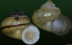 Cyclotus klobukowskii (Laos, 10,7mm, 10,9mm) banded form F++ €12.00, non-banded form F+/F++ €6.00 (all specimens 10-11mm)