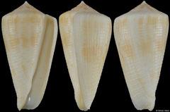 Conus limpusi (Queensland, Australia, 46,3mm)