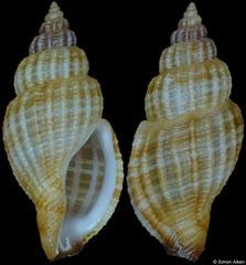 Kuroshiodaphne cf. aurea (Philippines, 12,1mm)