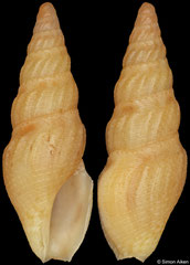 Clavus sulekile (South Africa, 12,0mm)
