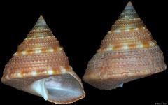 Astele stenomphala (Victoria, Australia, 13,1mm)