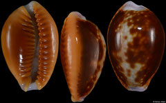 Cypraea helvola cf. form 'meridionalis' (Tanzania, 21,6mm)
