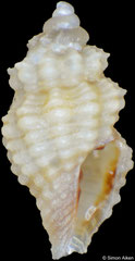 Acrista strombilum (Philippines, 2,7mm) F+++ €1.20 (specimens for sale are 2-3mm and are of the same quality as the specimen illustrated)
