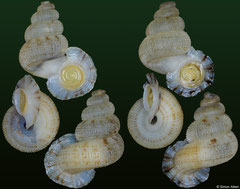 Adamsiella sp. (Jamaica, 18,0mm, 17,1mm)