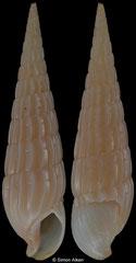 Terebra ballina (Queensland, Australia, 27,5mm)