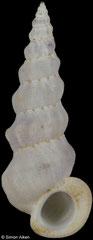 Opalia crassilabrum (Queensland, Australia, 13,2mm)