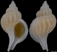 Boreotrophon aomoriensis (Japan, 15,5mm) F+/F++ €13.00