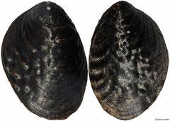 Lamprotula tientsinensis (China, 76mm)