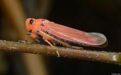 Sharpshooter (Cicadellidae sp.), Kampot, Cambodia