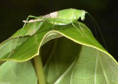 Katydid (Tettigoniidea sp.), Olango Island, Philippines