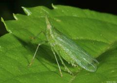 Planthopper (Dictyophara sp.), Fianarantsoa, Madagascar
