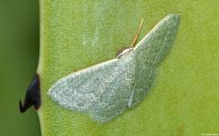 Emerald moth (Prasinocyma sp.), Anakao, Madagascar