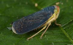 Planthopper (Fulgoromorpha sp.), Kasi, Vientiane Province, Laos