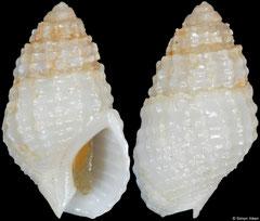 Tritia frigens (Angola, 16,3mm)