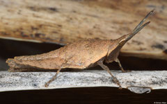 Gaudy grasshopper (Pyrgomorphidae sp.), Salary, Madagascar