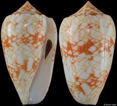 Conus archiepiscopus form 'tricincta' (Madagascar, 55,2mm)