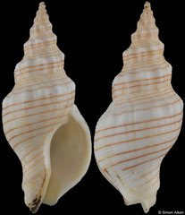 Siphonalia spadicea (Japan, 43,0mm) F++ €5.50