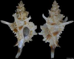 Favartia peregrina (Philippines, 15,0mm)