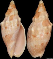Notovoluta kreuslerae (South Australia, 73,0mm)