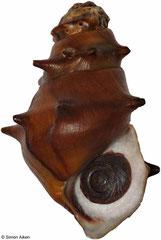 Brotia binodosa (Myanmar, 36mm)